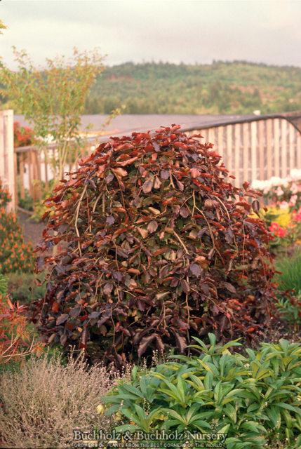 fagus sylvatica european beech greene 39 s tree garden llc. Black Bedroom Furniture Sets. Home Design Ideas